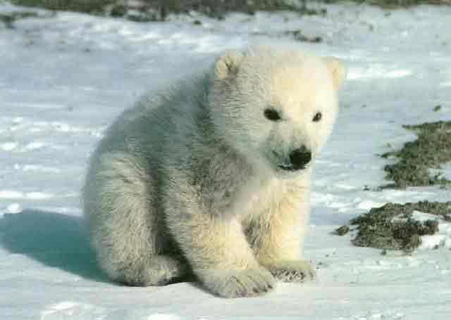 Cachorro de oso blanco