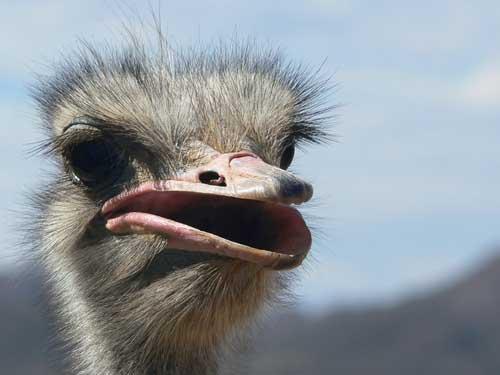 http://imagenes.gratis.es/data/media/73/cabeza-avestruz.jpg